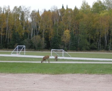 DEER!  EATING THE SOCCER FIELD!  SO COOL!  Oh boy, I'm such a southern Ontarian.