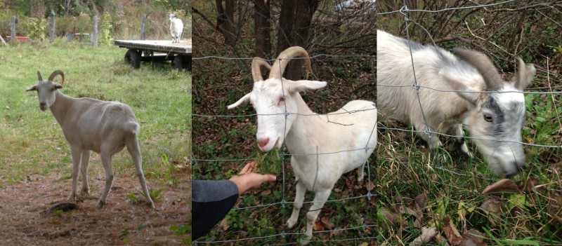 I think the big one is Ginger.  And I think the second photo is the same goat as the first photo.  Right now I'm feeling moderately guilty for not getting to know the goats well-enough.