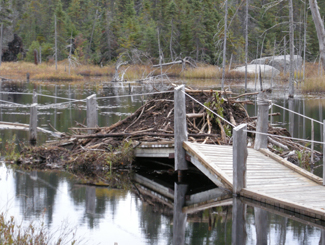 Temagai beavers ruin boardwalk, Highway 11