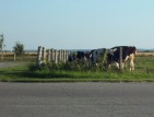 Cow traffic jam!  Cattle graze near homes in Earlton, Ontario on highway 11